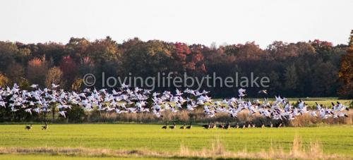 Geese and foilage
