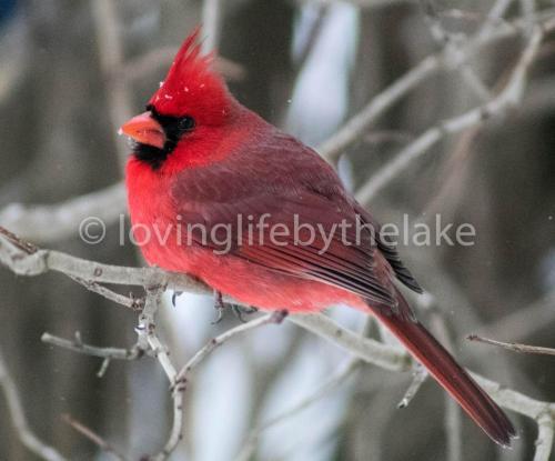 Puffed up cardinal