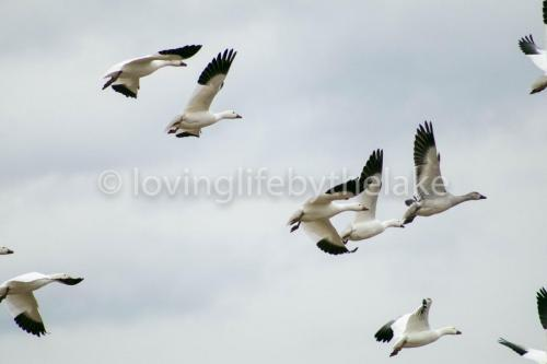 Snowgeese close up